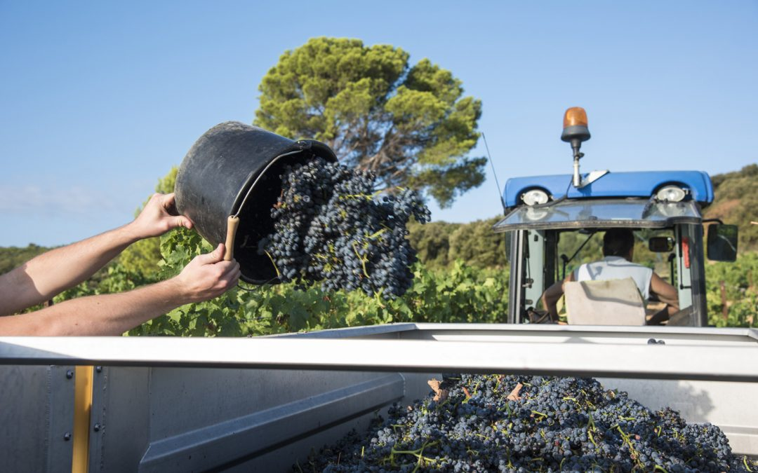 Harvesting 2016 :  shiraz